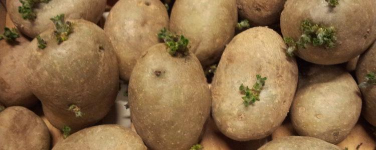 Vom Keimen der Kartoffeln bis zur Ernte - Beet und Kartoffelturm (8)
